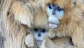 Altın maymun 'Rokselanna'
