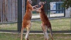 Kanguruların 'boks maçı' kameralara yansıdı