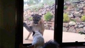 Kedi ve aslan karşı karşıya gelirse...