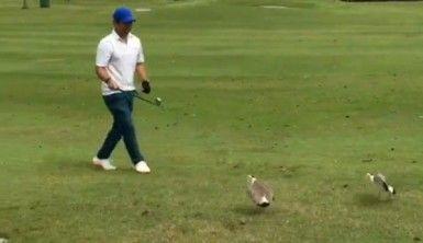 Kuşlar golf topunu yumurtaları sanınca