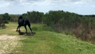 Atla timsahın nefes kesen mücadelesi