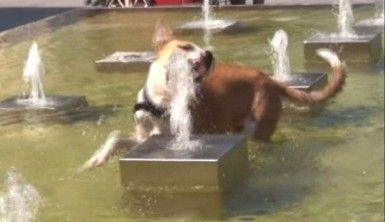 Sıcaktan bunalan köpeğin fıskiye ile imtihanı