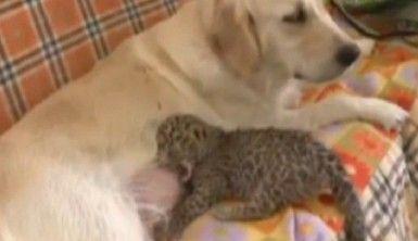 Köpek leopara annelik yapıyor