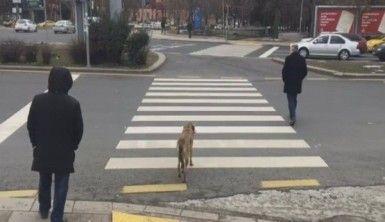 Köpek kırmızı ışıkta bekledi, yaya geçti