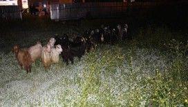 Çoban uyuyunca küçükbaş hayvan sürüsü şehre indi