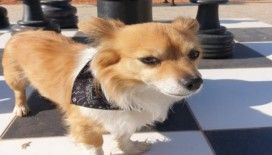 Sinop'ta köpeğini kaybetti, çevre illerde arıyor