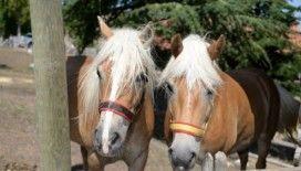 Fayton atları Altındağ'da koruma altında