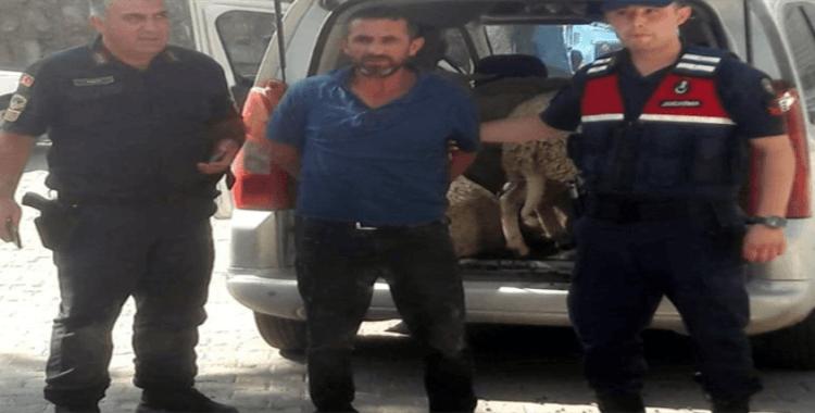 Araç bagajında koyun hırsızlığı
