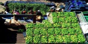 Adana'da mandalina hasadı başladı