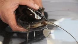 Aydın'da yayın balığı ile 10 milyonluk gelir elde edilecek
