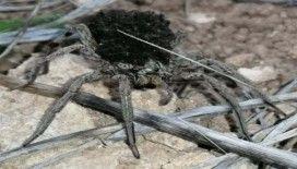 En tehlikeli 9 örümcek türünden biri Bilecik'te görüldü