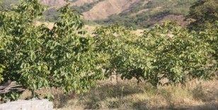 Bingöl'de ceviz hasadı başladı, çiftçinin yüzü güldü