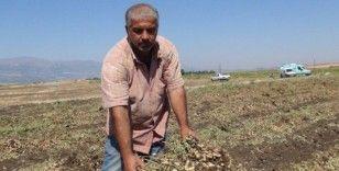 Gaziantep'te yer fıstığı hasadı başladı