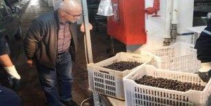 Erdek'te zeytin alımları sürüyor