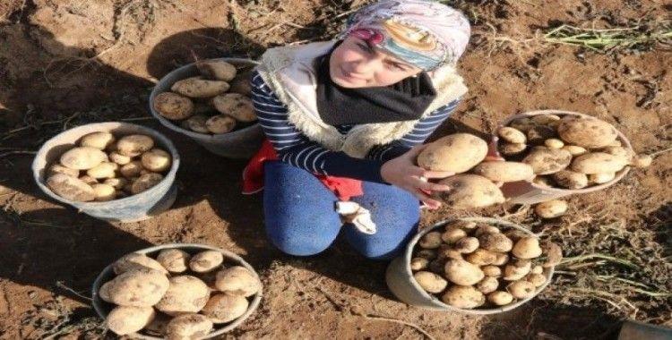 Patateste bu yıl 260 milyon TL hasılat bekleniyor