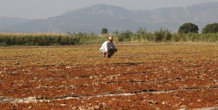 Manisa, kurutmalık ve sofralık çekirdeksiz üzüm üretiminde ilk sırada