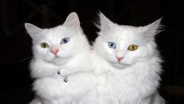 Van kedilerinin dünya çapında popülerliği arttı