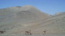Yaban keçilerinden geçit töreni