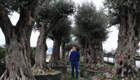 500 yıllık zeytin ağacı 25 bin lira