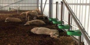 Çiftlikte 320 koyun telef oldu
