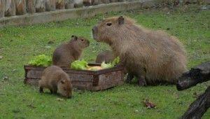 Yavru kapibaralar hayvanat bahçesinin maskotu oldu