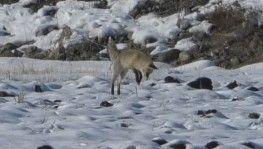 Kars'ta tilkilerin av mesaisi başladı