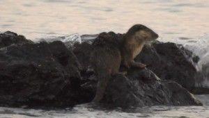 Marmara Denizi'nde su samuru heyecanı