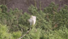 'Çam kese böceği' ormanları tehdit ediyor