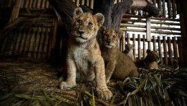 Aslan Park'ın yeni yavruları ziyaretçilerini bekliyor