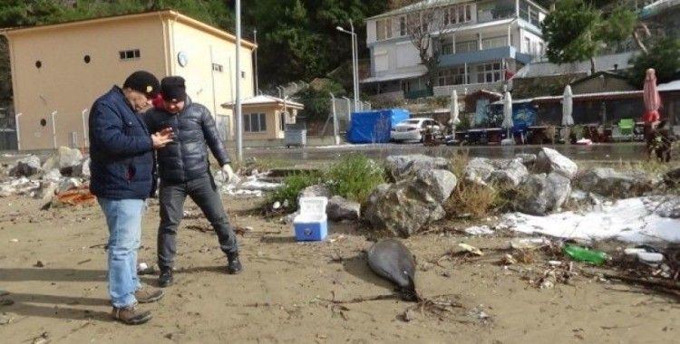 Bartın'da ölü yunus balığı sahile vurdu