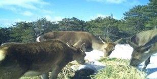 Kütahya'da yaban hayvanlarının beslenme anları fotokapana takıldı