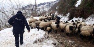 Giresun'da aç kalan yaban hayvanları koyun sürüsüne saldırdı