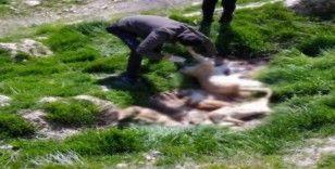 Çivril'de bir tilki ve 4 köpek telef edildi