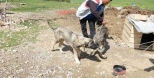 Havuza düşen kangal köpeğini, kardeşi kurtardı