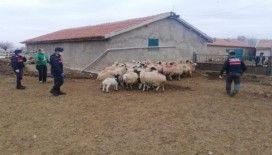 Jandarma, aynı ağıldan ikinci defa koyun çalan 2 kişiyi yakaladı