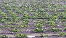 Tarsus'ta yağan dolu ekili tarım arazilerine zarar verdi