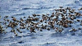 Doğa kendine geldi: Bodrum'a ördekler akın etti