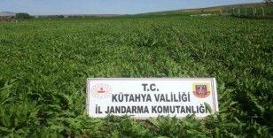 Kütahya'da 624 bin 440 kök kaçak ekilmiş haşhaş bitkisi ele geçirildi