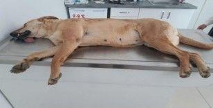 Alanya'da 2'si yavru 4 sokak köpeği zehirlenerek telef edildi