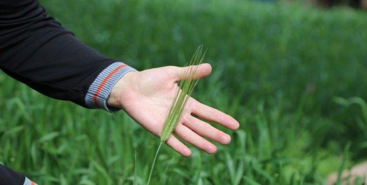 'Artvin buğdayı' coğrafi işaret yolunda