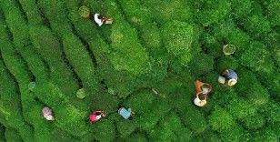 Trabzon'a çay hasadına gitmek için 7 bin 769 üretici başvurdu