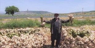 Kahramanmaraş'ta 'beyaz altın'ın hasadına başlandı