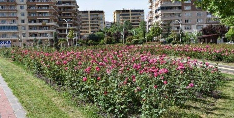Diyarbakır'da 12 dönümlük alanda 25 gül çeşidi yetiştiriliyor