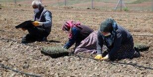 Sivas'ın kıraç topraklarında lavanta yetiştirilecek
