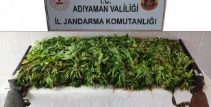 Jandarma kenevir bitkisi ele geçir