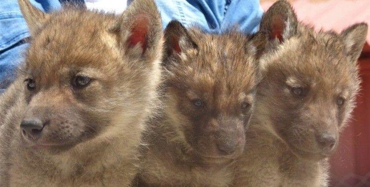 Annesiz kalan sevimli tilki ve kurt yavruları koruma altında