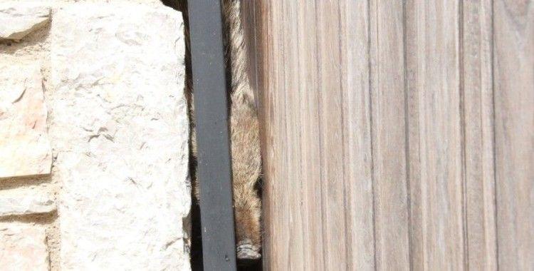 Bodrum'da lüks siteye giren domuz sürüsünü ortalığı birbirine kattı