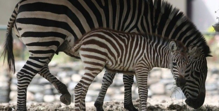 Bursa Hayvanat Bahçesi'nde yavru zebra ve karıncayiyen heyecanı