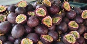 Tropikal meyve 'passiflora'nın üretim alanı genişliyor