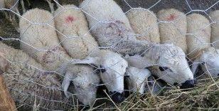 TÜDKİYEB Genel Başkanı Çelik: Kurbanlık küçükbaş hayvan sayımız, 138 ülkenin koyun, keçi varlığından fazla